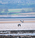 Birds flying over the Severn Estuary near Oldbury
